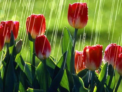 card-flowers-tulips-ros-naturs.jpg